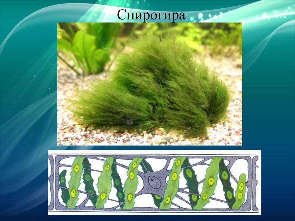 картинки водоросли одно и многоклеточные дорогая, куда более