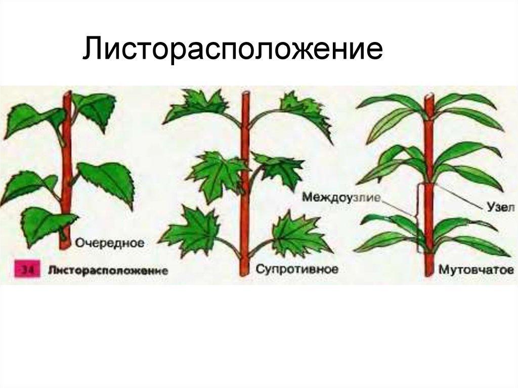 Листорасположение у растений в картинках вообще