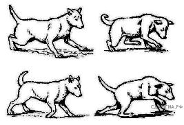 Какой участок мозга повреждён у собаки, походка которой изображена на рисунке?