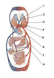 Какие элементы сердечно - сосудистой системы изображены на рисунке под цифрами 6, 7, 8?