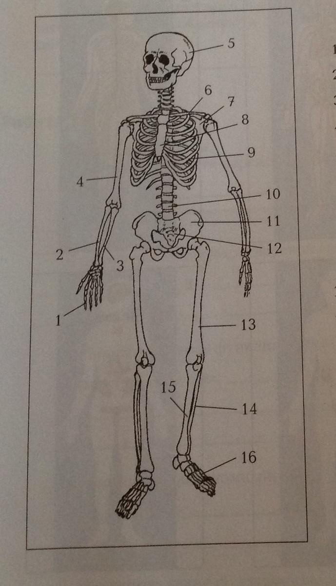 биология скелет картинки округлым черепом, коротким