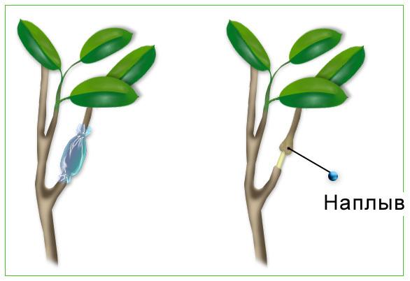Изображенный на рисунке показывает роль :древесинысердцевиныситовидных трубок лубакоры?