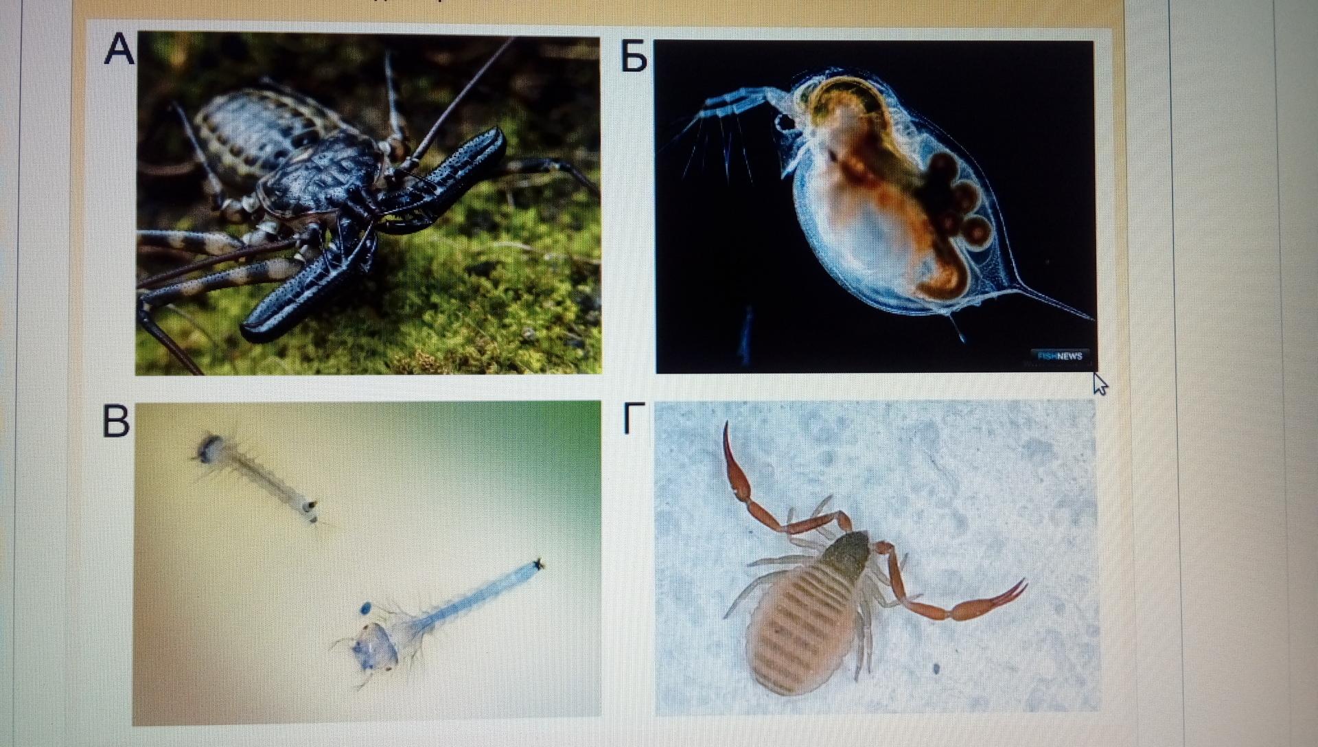 У кого из этих организмов одна пара антенн?